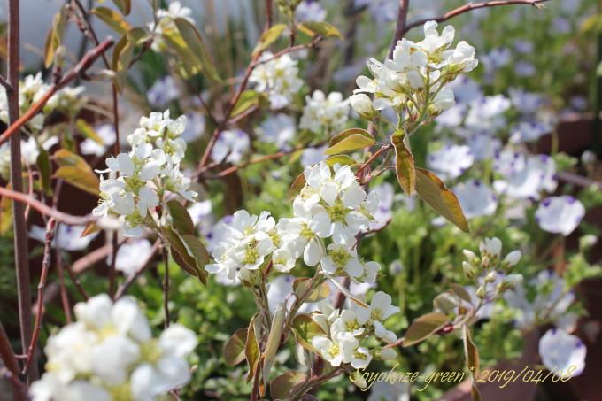 矮性ジューンベリー リージェントの花