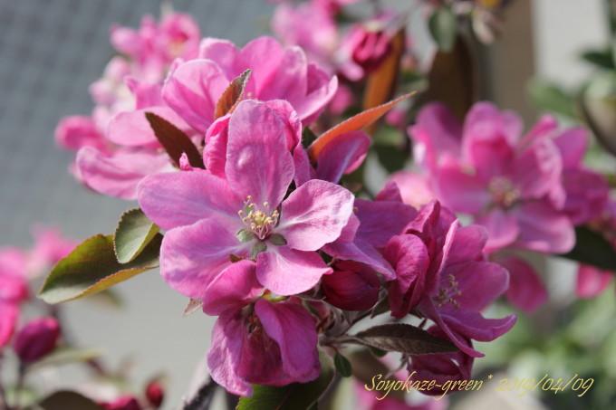 ミニリンゴ クラブアップルプロフェージョンの花