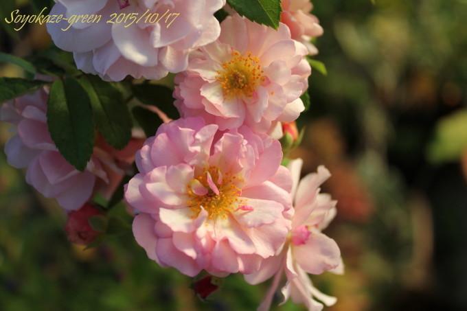バラ コーネリアの秋花