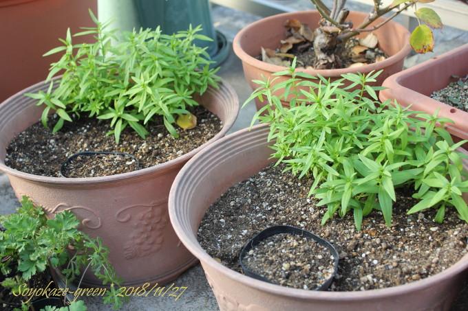 チューリップの球根を植えた鉢