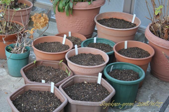 ユリを植え替えた鉢