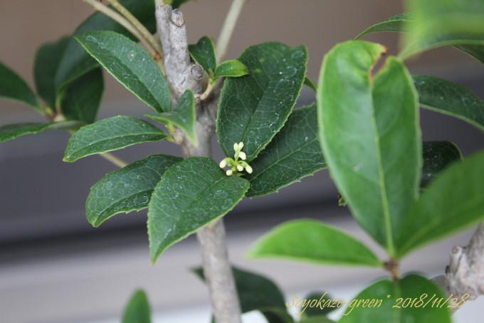 四季咲き スーパーミニモクセイ スイートオリーブに秋遅く付いた蕾